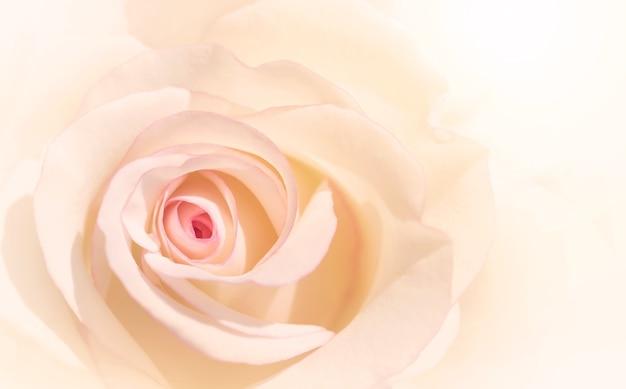 Pink rose bloemen voor liefde bruiloft en valentijnsdag met kopie ruimte.