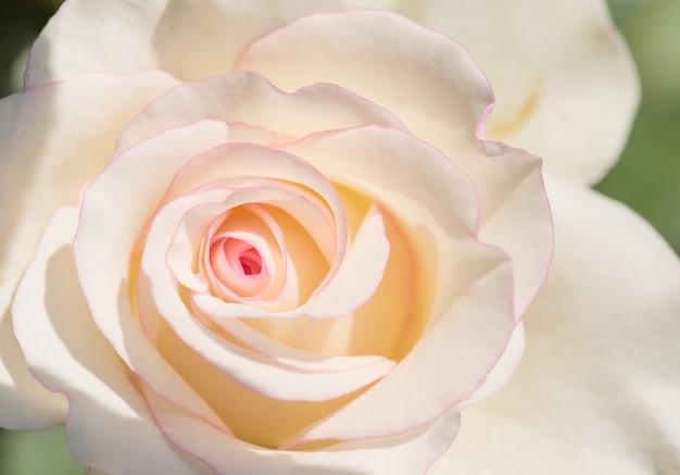 Pink rose bloemen voor liefde bruiloft en valentijnsdag.