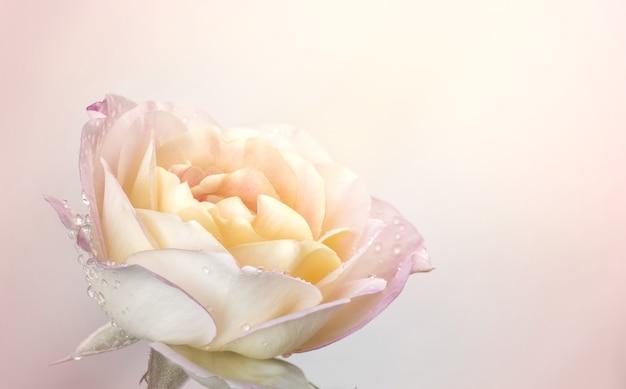 Pink yellow rose bloemen voor liefde bruiloft en valentijnsdag met kopie ruimte.