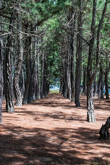 Pinos alineados en el bosque