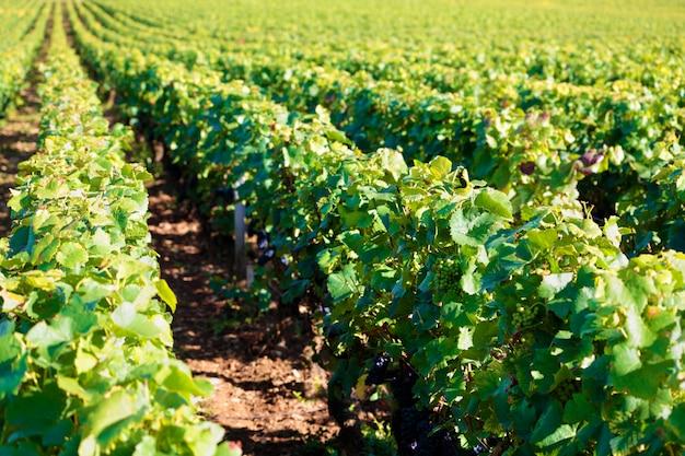 Pinot noir rode wijn druiven wijngaard bourgondië frankrijk