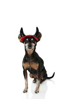Pinscher-hond draagt evil hoornen voor carnaval of halloween feest.