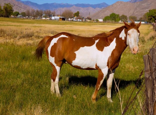 Pinto van californië verfpaard in landbouwbedrijf