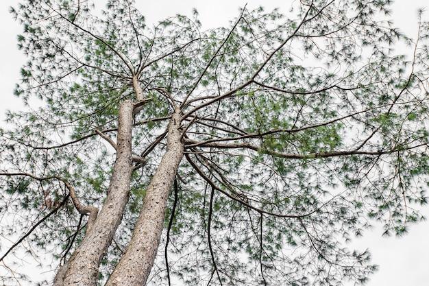 Pinus mugo - het is ook bekend als kruipende den, dwergbergpijnboom, mugopijnboom