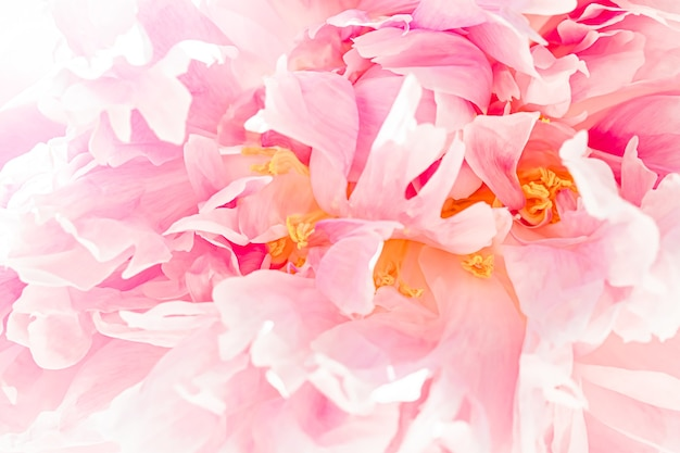 Pioenbloem in een tuin bloemenschoonheid en botanische achtergrond voor huwelijksuitnodiging en groet…