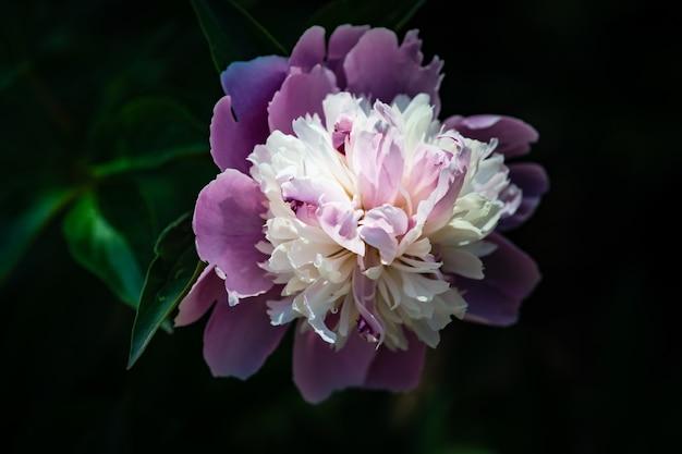 Pioenbloemen in een tuin
