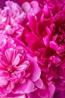 Pioenrozen achtergrond. paarse pioenrozen bloeien achtergrond