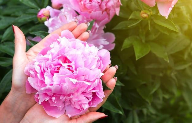 Pioenrozen in dauw na de regen. prachtige lentebloemen in de natuur.