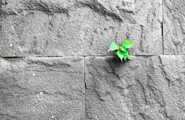Pipal blad groeit door spleet in oude zand stenen muur, survival concept