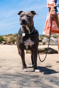 Pit bull-hond die op het strand speelt, geniet van de zee en het zand. zonnige dag. selectieve aandacht.