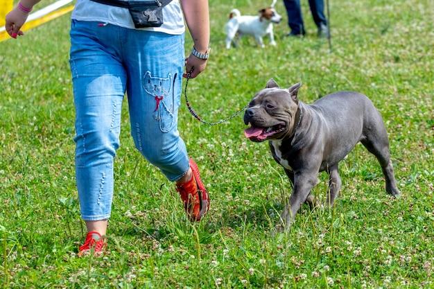 Pit bull terrier hond in de buurt van een vrouw in spijkerbroek tijdens het wandelen in het park. blije hond rent met zijn minnares