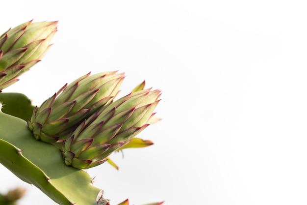 Pitahaya bloem op plant, patahaya boom of draak fruit boom op landbouwgebied, close-up van bloem van pitahaya