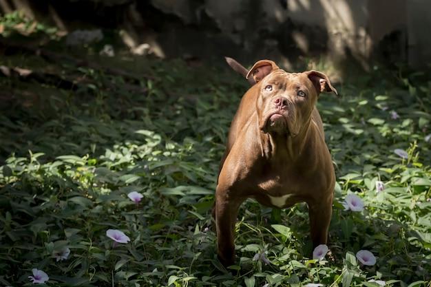 Pitbull dog starend naar het slachtoffer met een vastberaden oog.