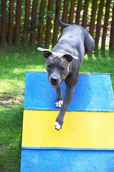 Pitbull-hond die de houten helling oploopt. pitbull doet behendigheidsoefening in het park.