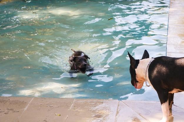 Pitbull-hond die in het zwembad zwemt en met een rond bull terrier-hond speelt. zonnige dag in rio de janeiro.