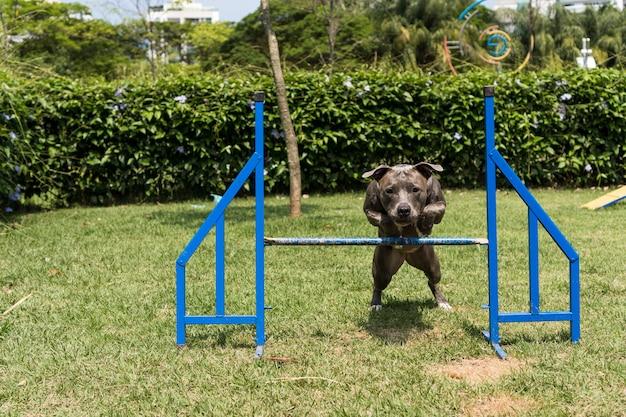 Pitbull-hond die over obstakels springt terwijl hij behendigheid beoefent en speelt in het hondenpark. hondenplaats met speelgoed zoals een oprit en band voor hem om te oefenen.
