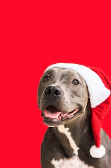 Pitbull hond in rode santas cap geïsoleerd op een witte achtergrond voor kerstmis wachten op de kerstman