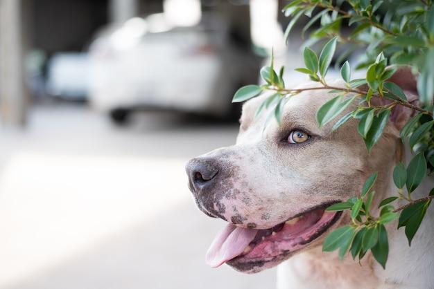 Pitbull-hond sluip in de bush.
