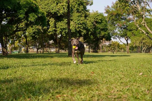 Pitbull hond spelen in het park bij zonsondergang zonnige dag en open landschap met veel natuur