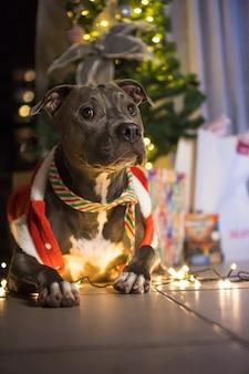 Pitbull hond voor de kerstboom, met de ballen en lichten aan en wat cadeautjes. wachten op de komst van sinterklaas.
