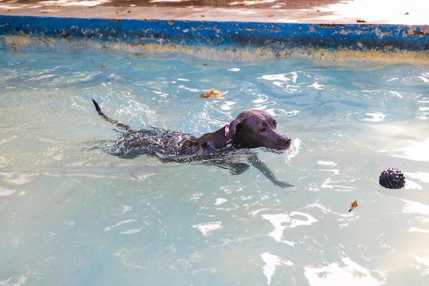 Pitbull hond zwemmen in het zwembad in het park. zonnige dag in rio de janeiro.