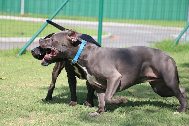 Pitbull-honden die in het park spelen.
