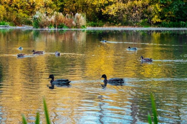 Pittoresk kleurenbos wordt weerspiegeld in het meer in het herfstpark op een zonnige dag met zwemmende eenden in de vijver. kleurrijke gebladerte boomreflecties in kalm vijverwater op een mooie herfstdag