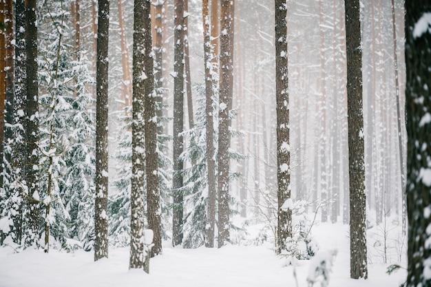 Pittoresk wijnmakerijbos. fabelachtig besneeuwd wonderland. magisch prachtig schilderachtig uitzicht op dennen en sparren bedekt met sneeuw. koude ijzige aard.