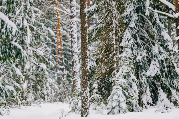 Pittoresk wijnmakerijbos. fabelachtig besneeuwd wonderland. magisch prachtig schilderachtig uitzicht op dennen en sparren bedekt met sneeuw. koude ijzige natuur.