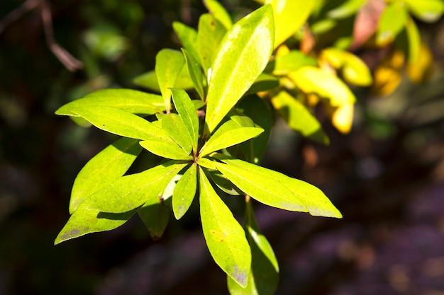 Pittosporum tobira, australische laurier, japanse pittosporum, mock sinaasappel en japans kaashout, groene bladeren op een struik, vroege lente concept natuurlijke achtergrond,