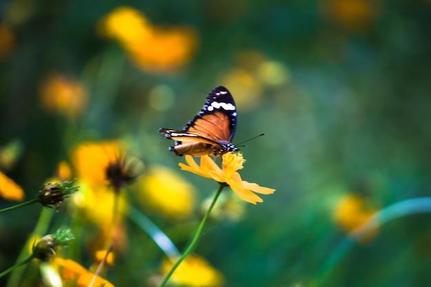 Plain tiger danaus chrysippus vlinder drinken nectar de bloem planten