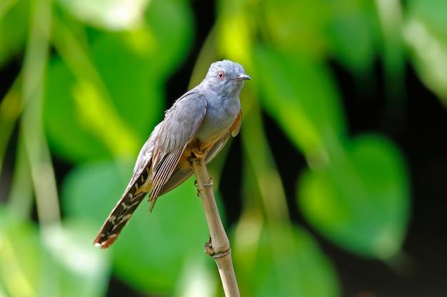Plaintive cuckoo cacomantis merulinus mooie mannelijke vogels van thailand