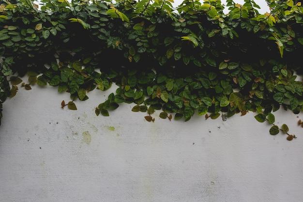 Plant die een muur bedekt