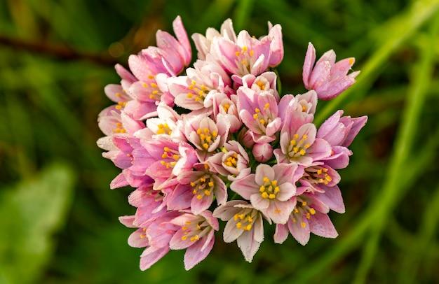 Plant in het voorjaar met veel kleine lila bloemen