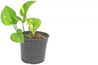 Plant in pot, de aarde
