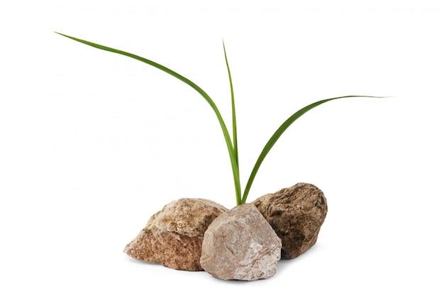 Plant op de rotsen geïsoleerd op een witte achtergrond