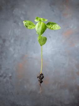 Plant spruit met wortels. ecologisch biologisch product, plantenteelt.