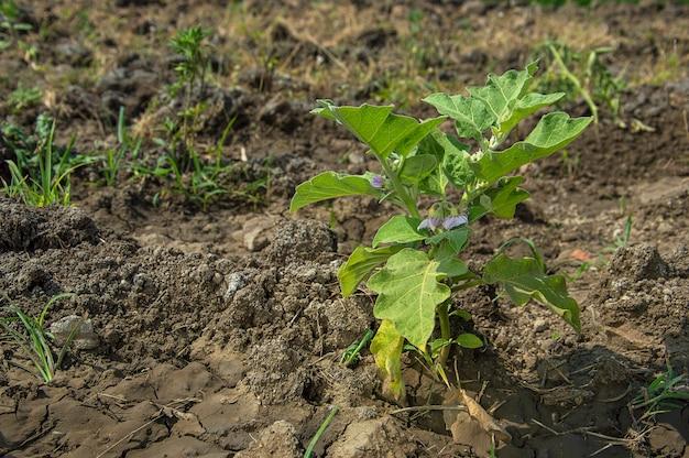 Plant van aubergines of eierplanten groeien in de tuin