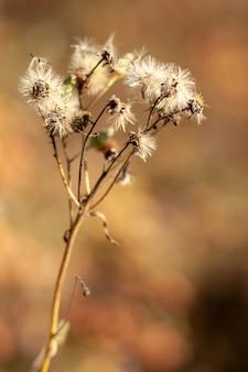 Plant vergelijkbaar met veel paardebloemen op één stengel