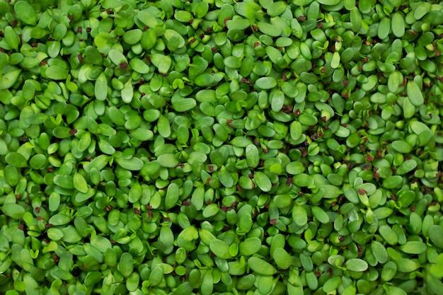 Plantaardige alfalfaspruiten, micro, microgeen, close-up.