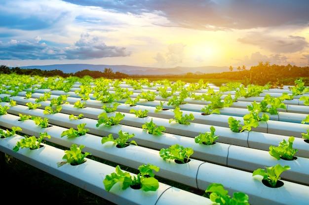 Plantaardige groene eik groeit in hydrocultuur systeem stroomt water op plantperceel