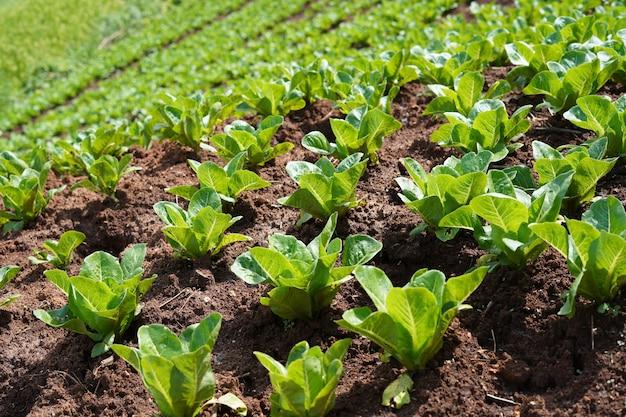 Plantaardige percelen van lokale landbouw, plattelandslandbouw in aziatische landen