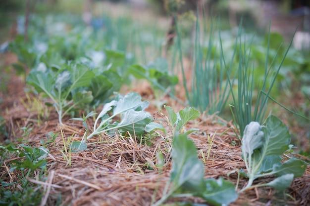 Plantaardige plant groeit in tuinboerderij. voedsel plantage