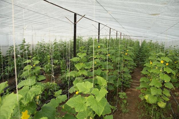 Plantaardige plantage in een kas