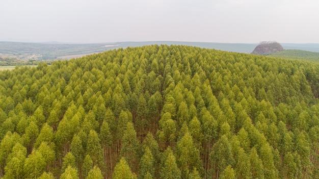 Plantage van eucalyptusbomen, weergave van bovenaf. eucalyptus bos.
