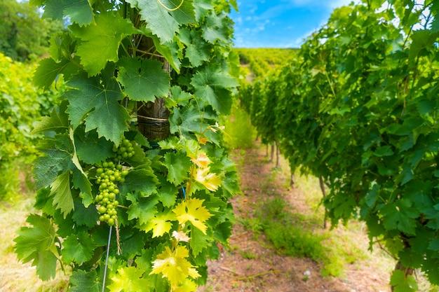 Plantage van groeiende druiven dragende wijnstokken