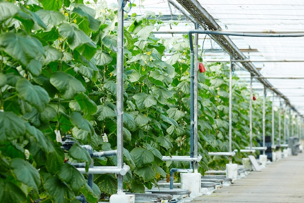 Plantage van komkommers