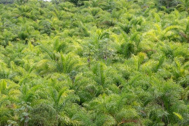 Plantage van perzikpalm of pupunha