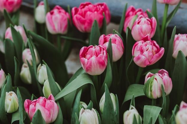 Plantage van tulpen in een kas
