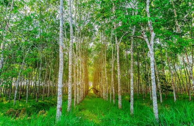 Plantation tree rubber of latex boom rubber in het zuiden van thailand